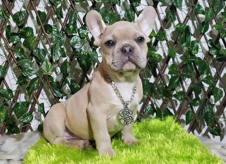 SOÑADO <strong>bulldog</strong> FRANCÉS BLUE FAWN MERLE ! ÚNICO !