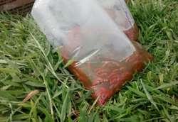 Alevinos de Tilapia Roja, Cachama, Yamu, Sabalo. Semilla Certificada