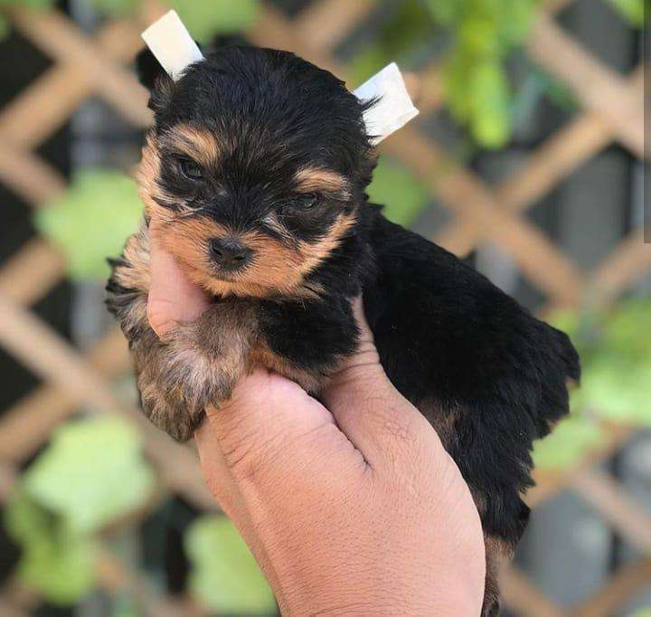 lindos yorkshire terrier mini