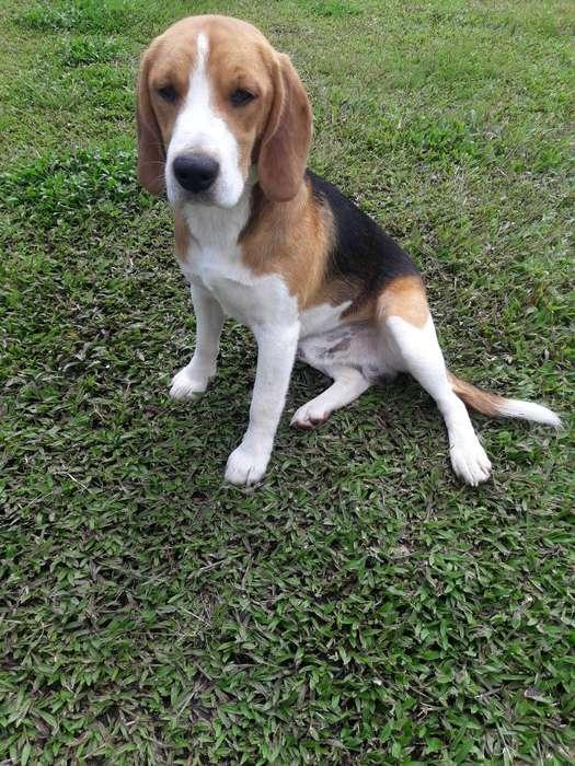 Vengo Perro <strong>beagle</strong>