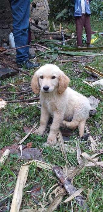 Se Vende Cachorro Golden Retriber