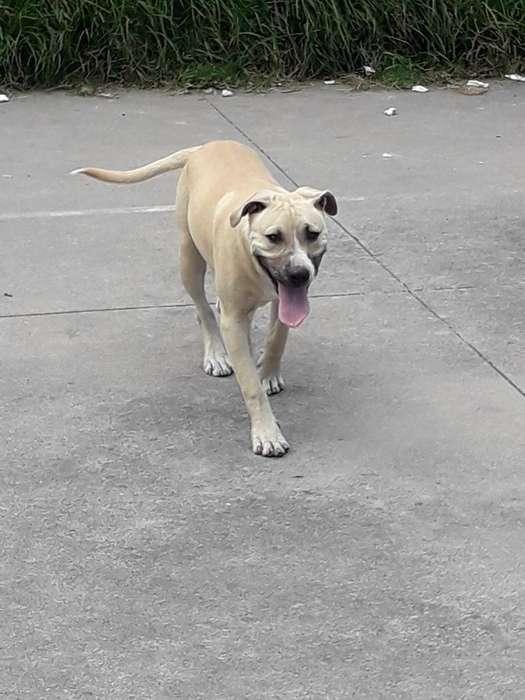 Vendo Cachorro Pitbull de 5 Meses