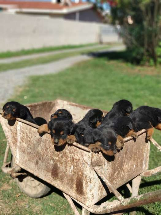 <strong>rottweiler</strong>s