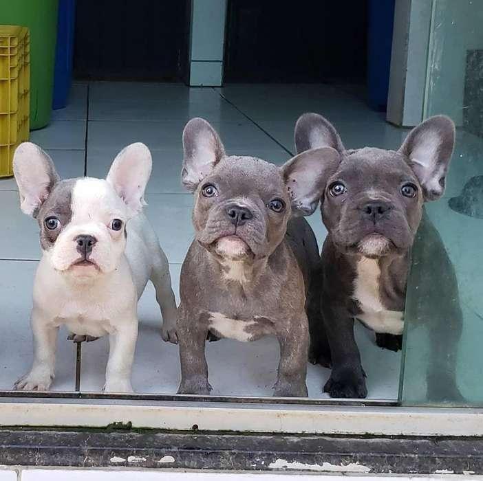 Lindos Perros Bulldog