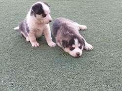 Cachorros Husky Siberianos, Ojos Celeste