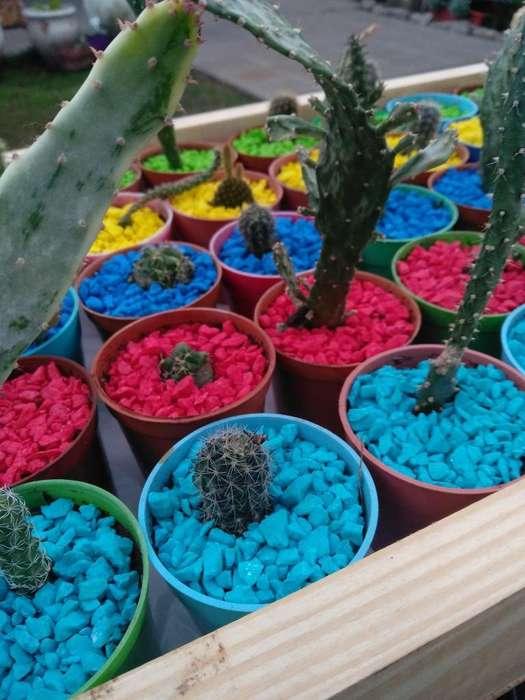 Cactus 50 Unidades