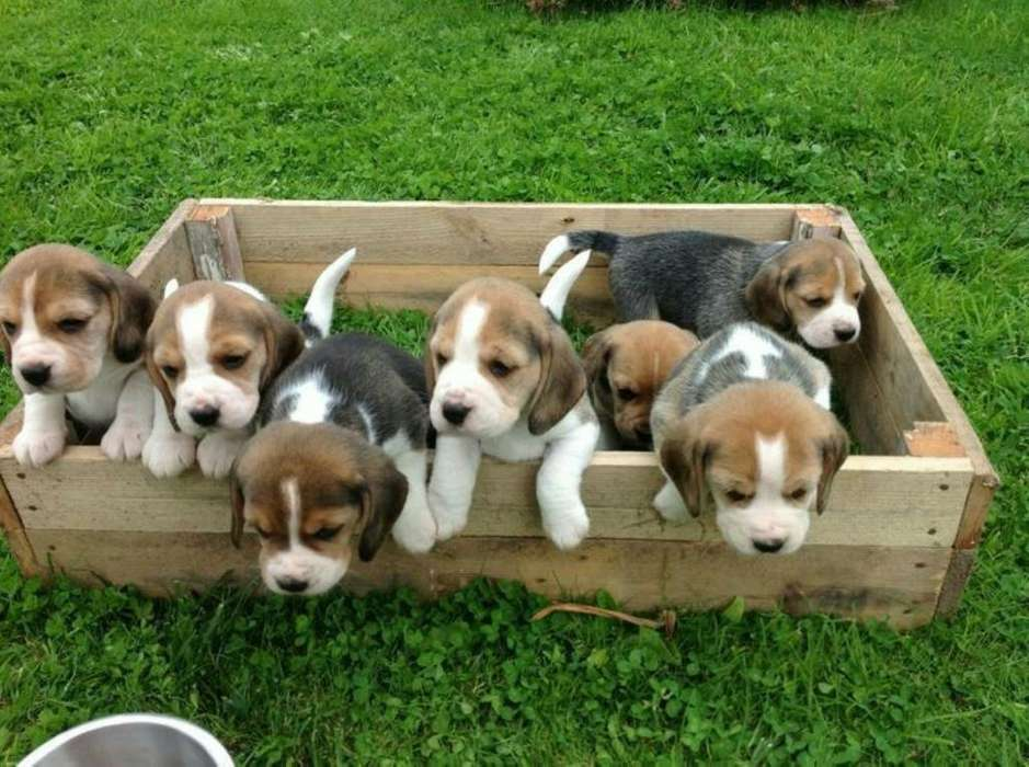 <strong>cachorro</strong>s Beagles