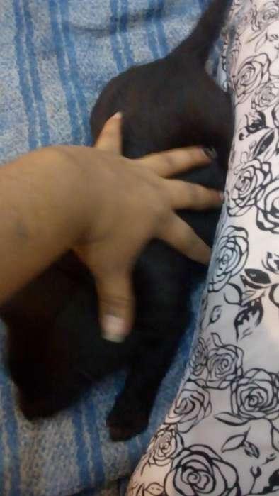 Labrador Negro Último Machito 2000