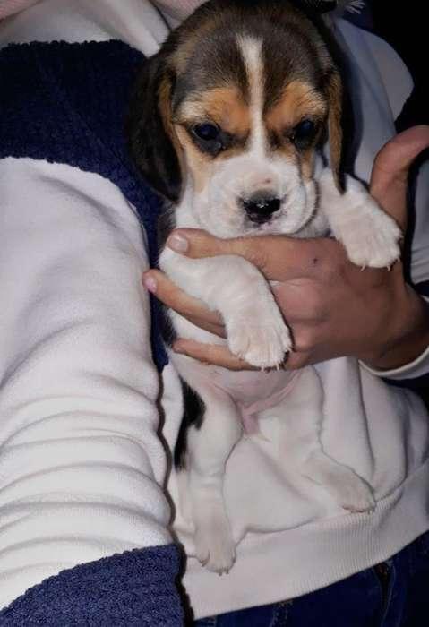 <strong>beagle</strong> Hembrita de Lujo