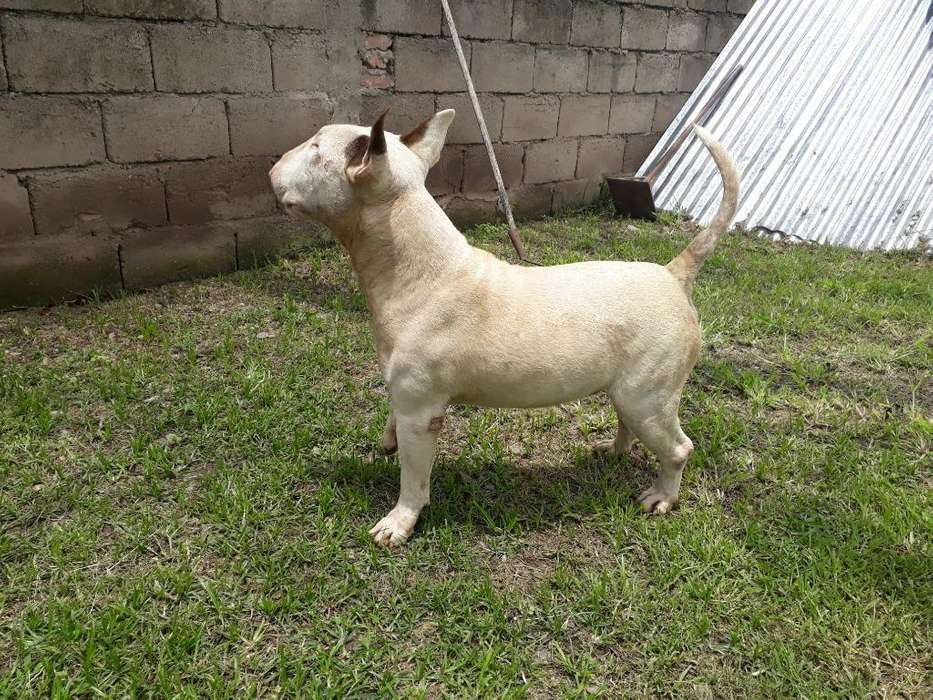 Bull Terriers Busca Novia