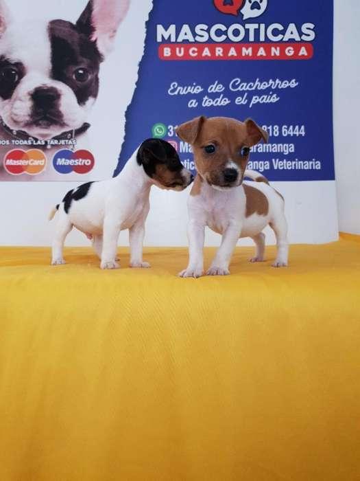 Bellisimos Jack Russell <strong>terrier</strong>s en Vent