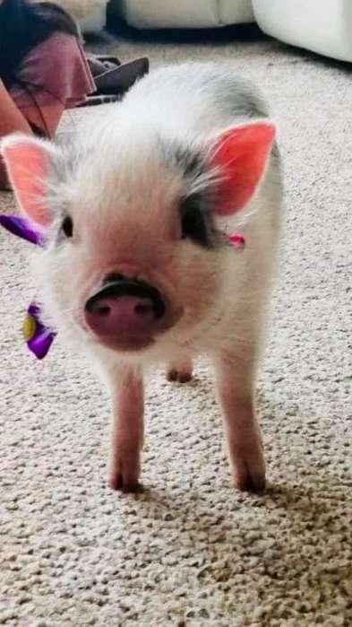 Mini Pig Juliana