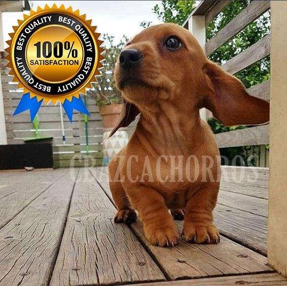 MAGNIFICOS <strong>cachorro</strong>s dachshund únicos Y espectaculares teckel salchichas BELLÍSIMOS ALTA EXCLUSIVIDAD TOTAL ANIMATE