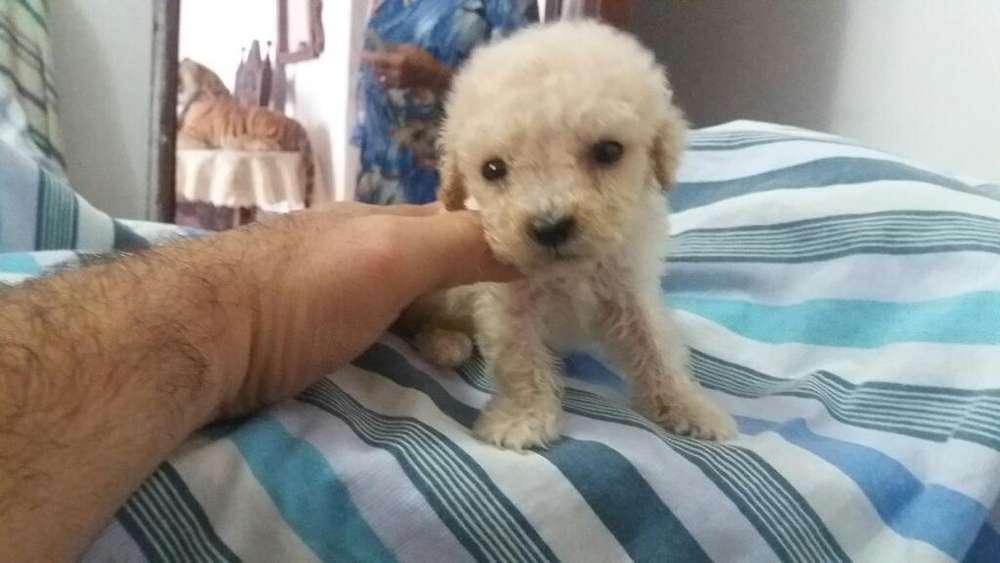 Vendo Excelente Camada Poodler Tacita