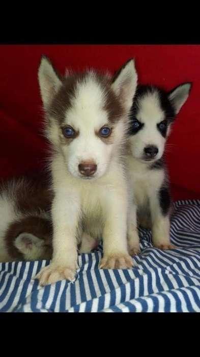 Cachorritos Lobos Siberianos Puros