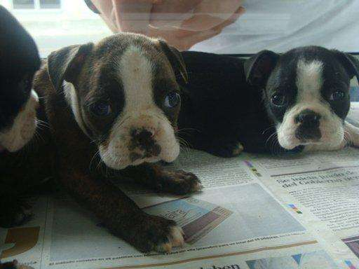 increibles boston terrier