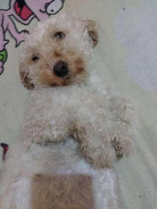 French Poodle en Adopción Responsable