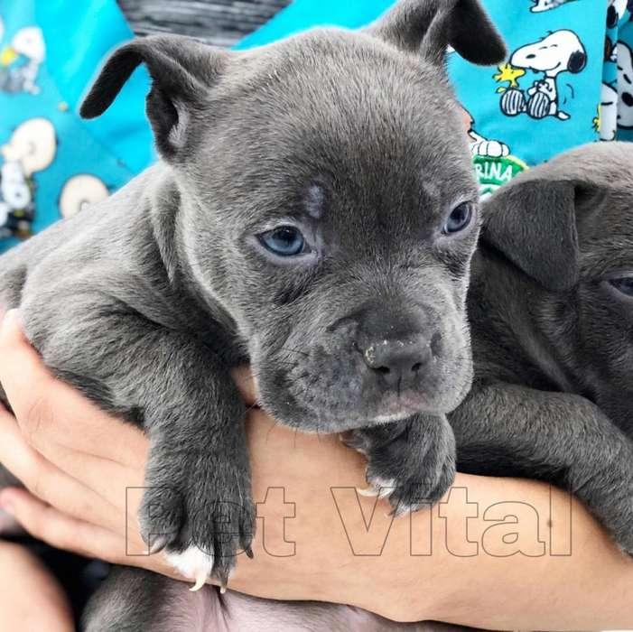 CACHORROS HERMOSOS PITBULL BLUE EN PET VITAL !!!