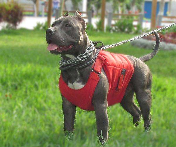 Cachorra <strong>pitbull</strong> Fusion Black And White Hembra