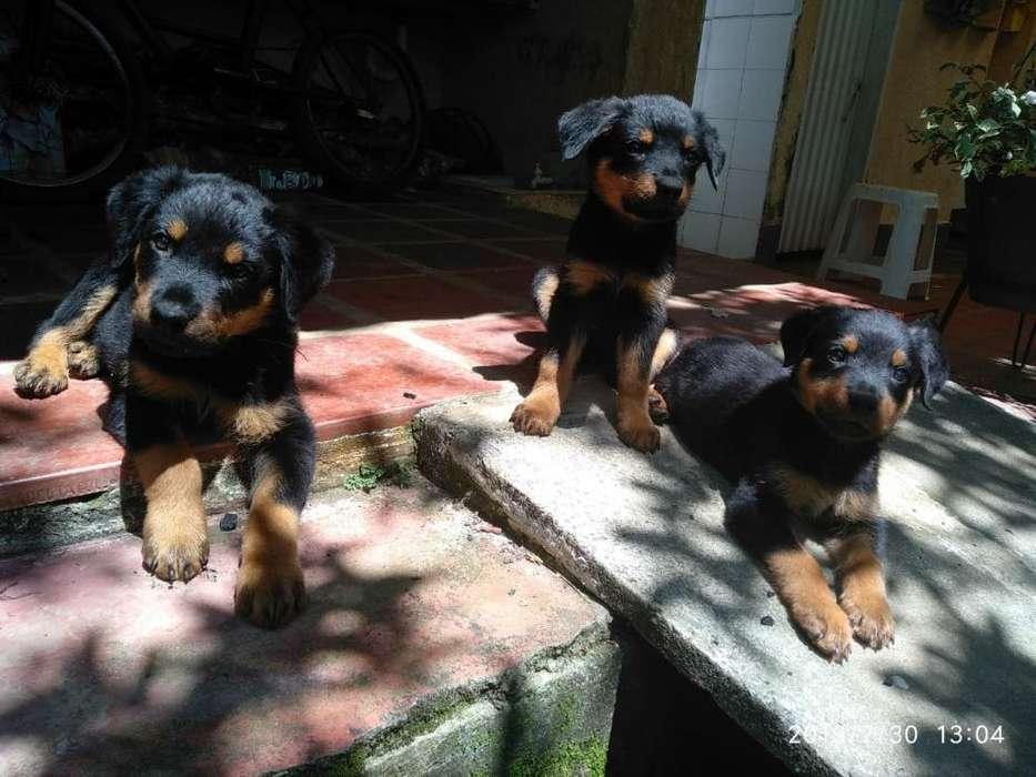 Rottweiler Linea Alemana - 3 meses