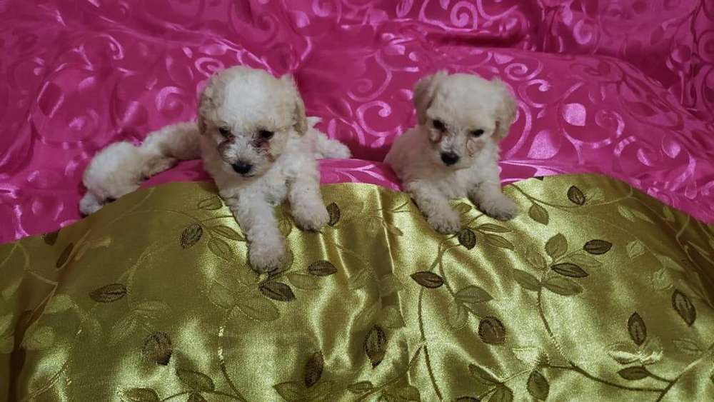 Vendo Lindos cachorros FRENCH POODLE, Villavicencio