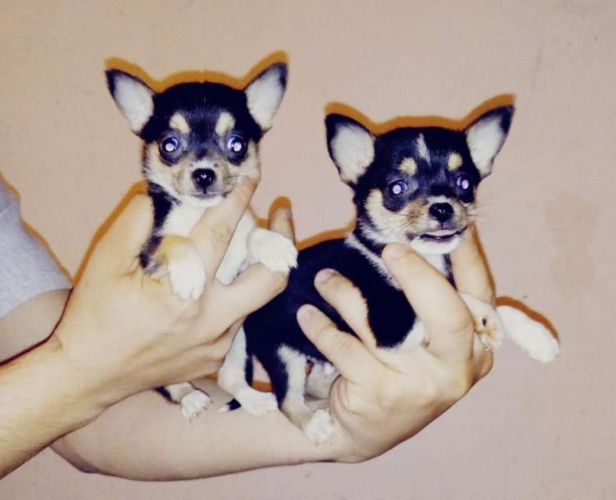 <strong>chihuahua</strong>s Minis