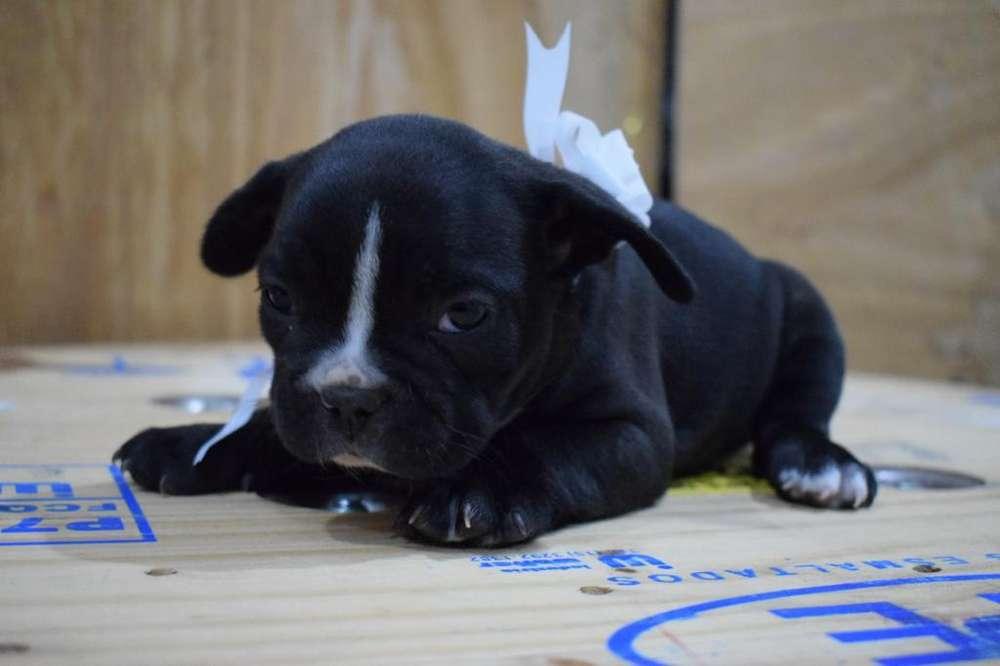 Bulldog Francés Hembrita