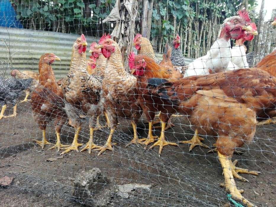 Se Vende <strong>pollos</strong> Pio Pio