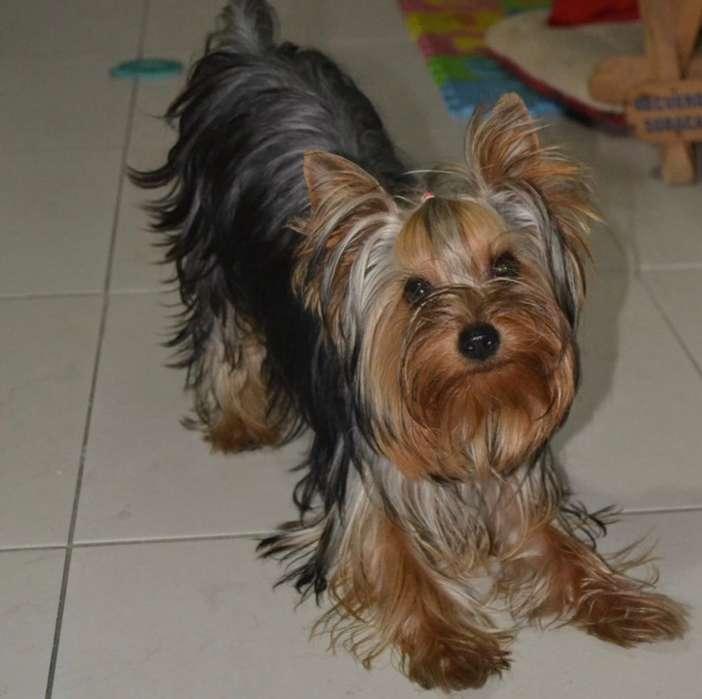 Busco novia raza yorshier <strong>terrier</strong>
