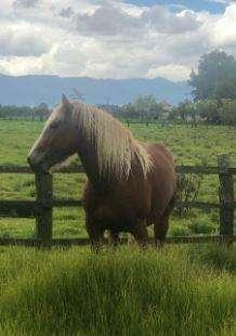 Vendo <strong>caballo</strong> reproductor raza belga