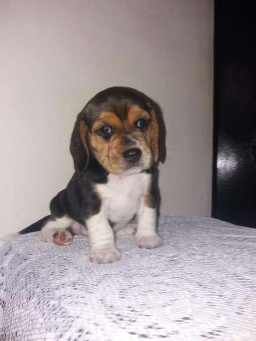 Chiquitin <strong>beagle</strong> Macho
