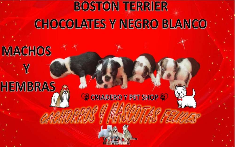 CRIADERO VENDE CACHORR@S DE RAZA BOSTON <strong>terrier</strong>, ENVIÓ A TODO EL PAÍS