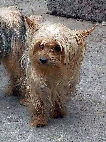 Venta <strong>cachorro</strong>s Yorkshire Yorky