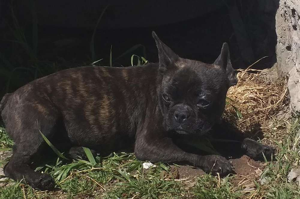 <strong>bulldog</strong> Frances Macho 8 Meses