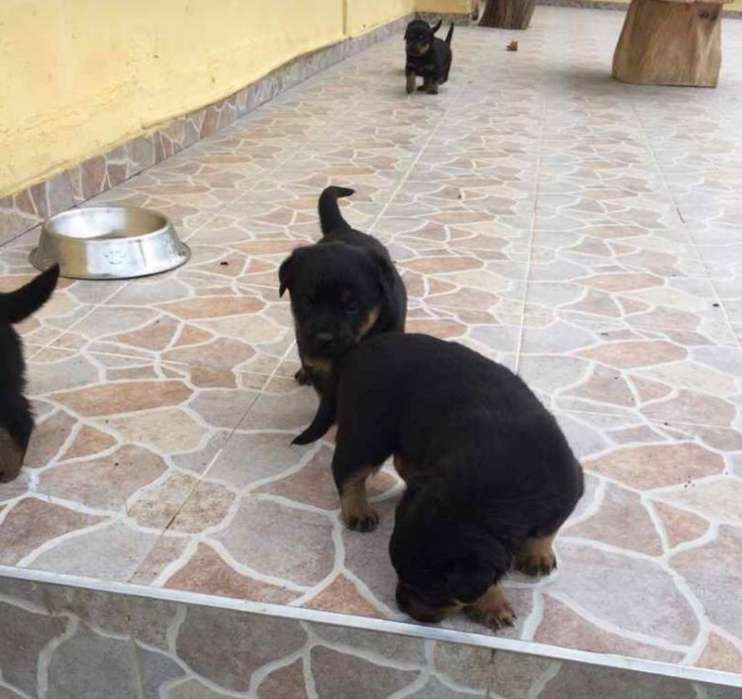 <strong>perros</strong> Rotweiler Americanos 100% Puros