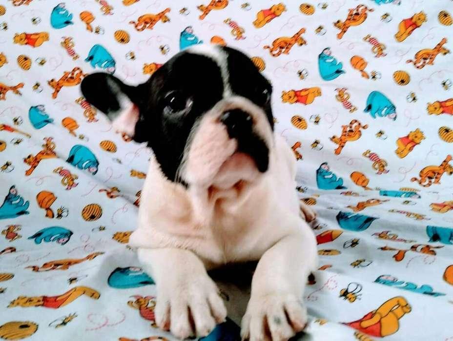 Hermoso <strong>bulldog</strong> Frances 0992057259
