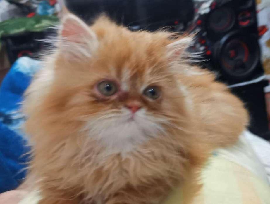 Vendo hermoso gatos persa Red Tabby