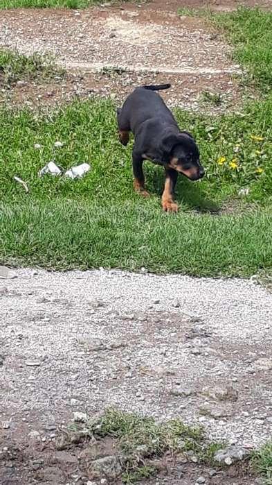 Cachorrita <strong>rottweiler</strong> 2 Meses de Edad