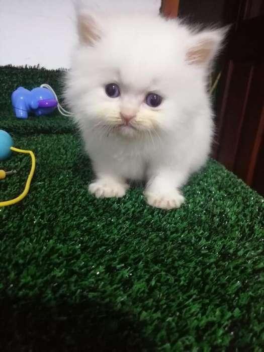 Gatos Persas Hermosos