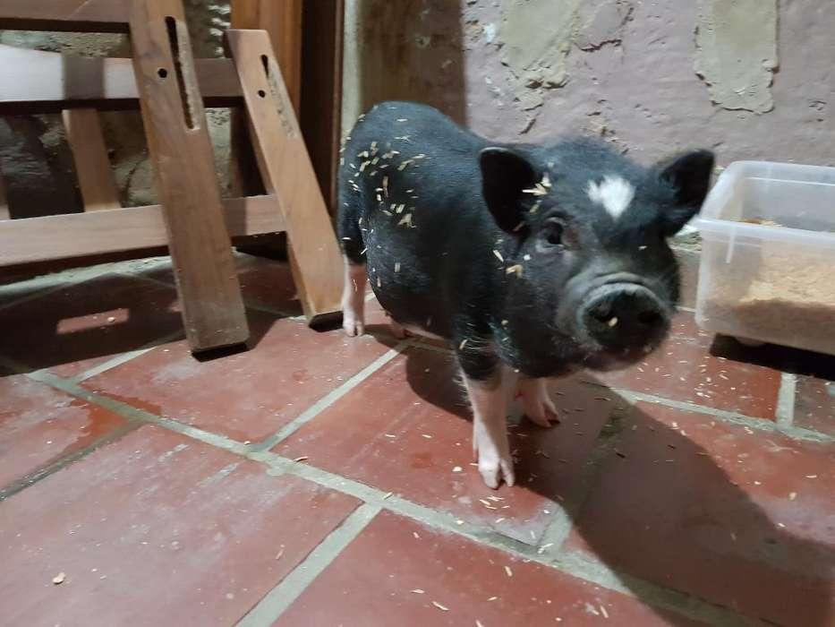 Mini Pig Mascota