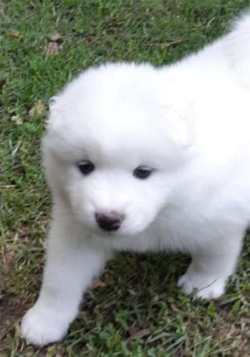 Lo Mejor de La Raza Cachorros Samoyedos
