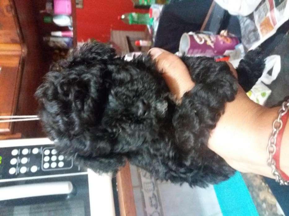 Hermosos cachorritos caniches toy 1543995895 julieta