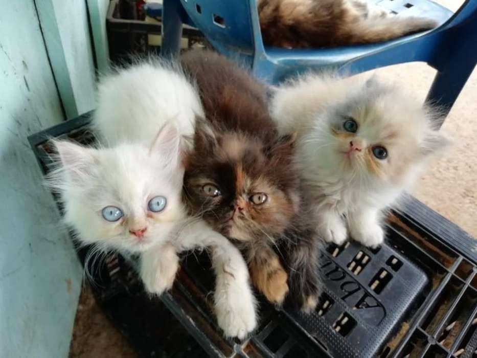 Gatos Persa Tienen 2 Meses