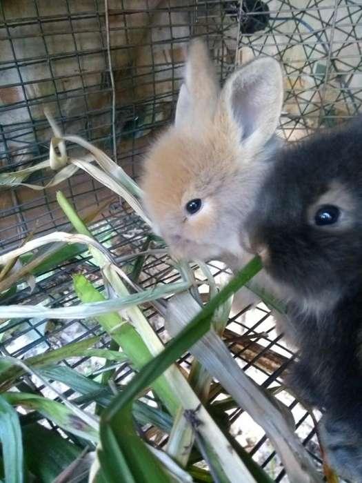 Hermosos Conejos Cabeza de Leo3143559923