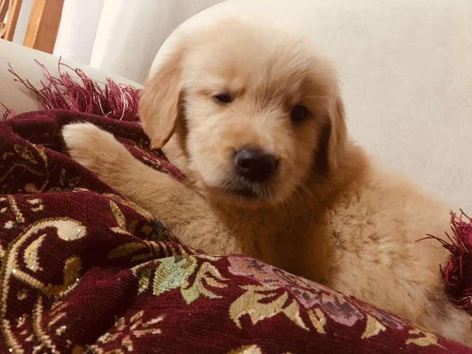 en venta <strong>cachorro</strong>s golden retriever gruesos