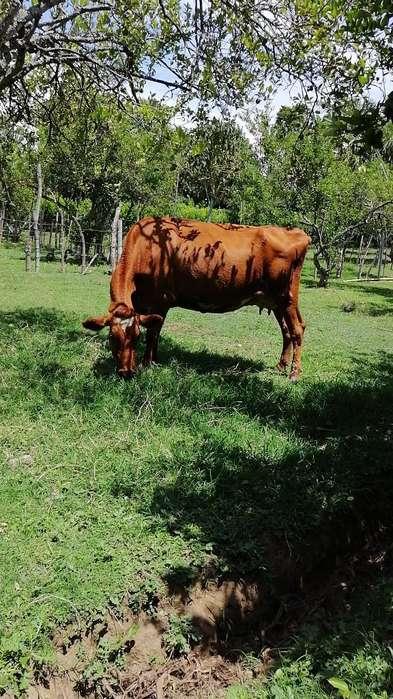 Vaca Lechera 4 Meses de Gestación