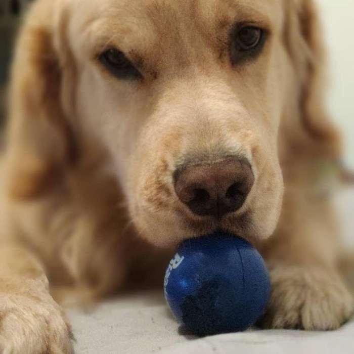Busco Monta para Perro Golden Retriever