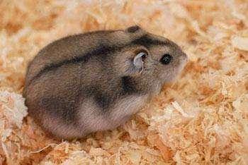 Venta de hamster ruso macho