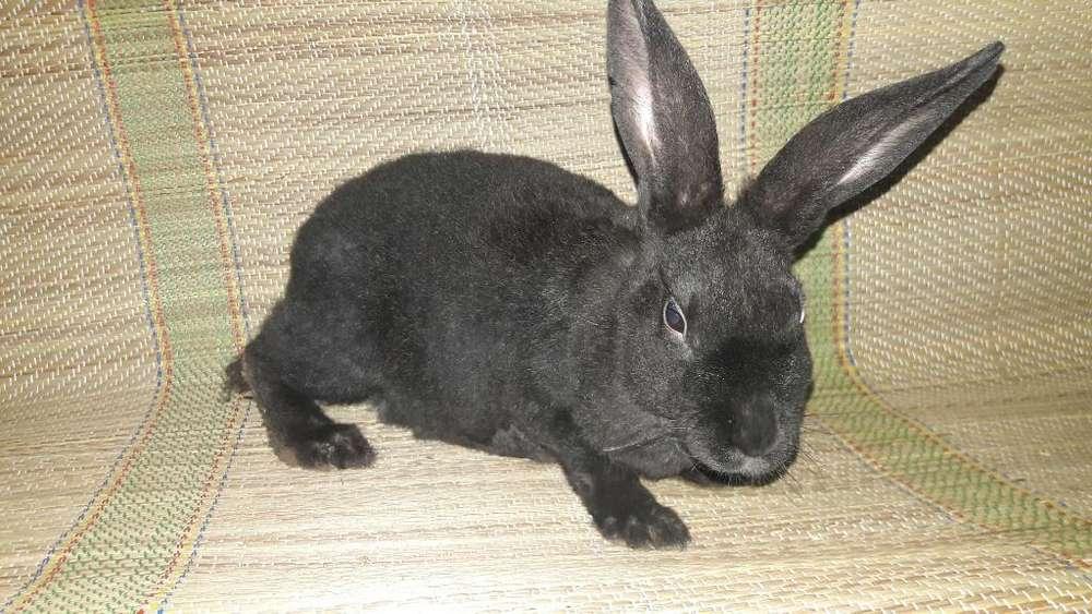 Conejos Rex Negros