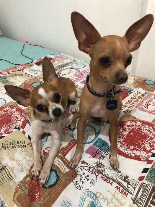 Buscan Novia Mis Chihuahua